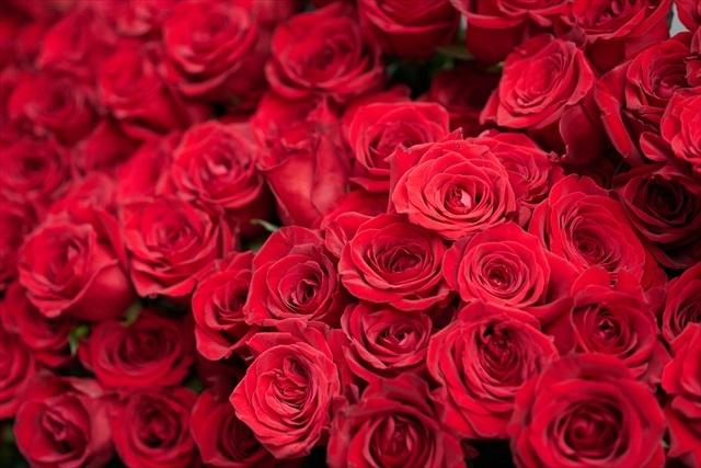 赤薔薇いっぱい